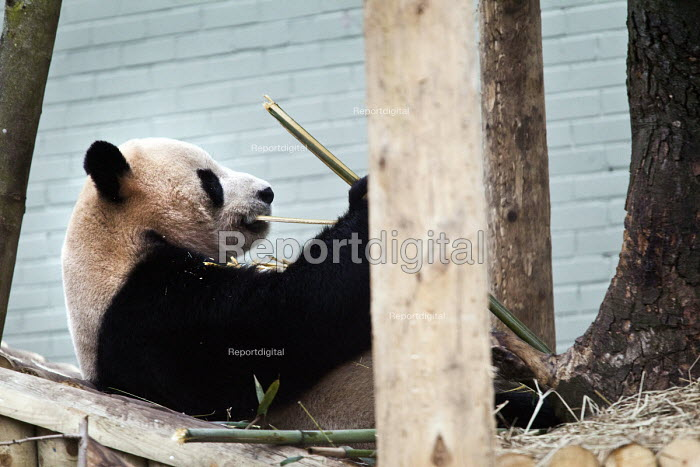 A Giant Panda (Ailuropoda melanoleuca) eating Bamboo in captivity in the enclosure at Edinburgh zoo. Scotland - Paul Box - 2012-03-14