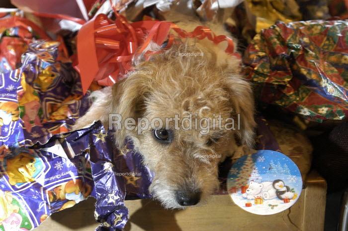 A puppy at christmas - Paul Box - 2004-01-21