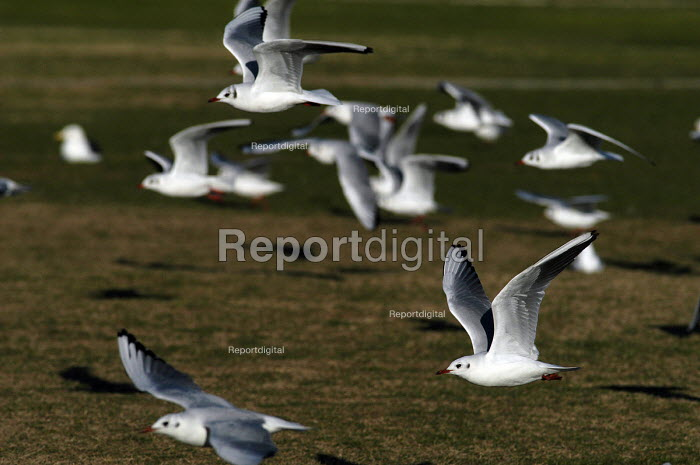 A seagulls fying. Weston Super Mare. - Paul Box - 2004-02-19
