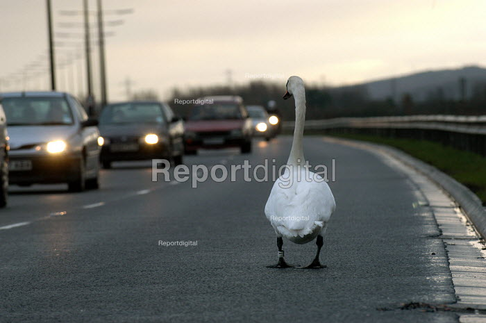 A swan walks on duel carriageway slowing down traffic - Paul Box - 2003-03-12