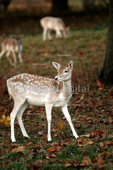 Fallow Deer in Ashton court , Bristol - Paul Box - 2003-11-01