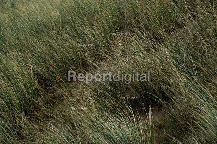 Grass on sand dunes which protects against erosion. - Paul Box - 2004-02-01
