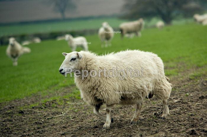 A flock of sheep in a field in Wales. - Paul Box - 2004-05-01