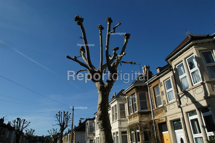 Pruned London plane trees, in a victorian terraced street Bristol - Paul Box - 2004-03-02
