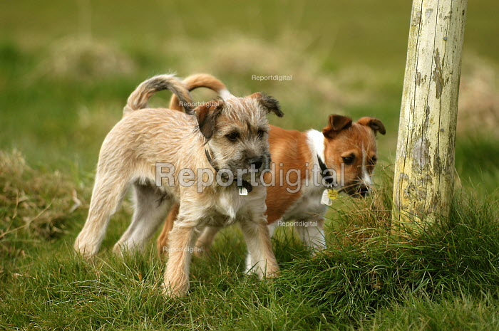 Puppies play in a field. - Paul Box - 2004-08-02