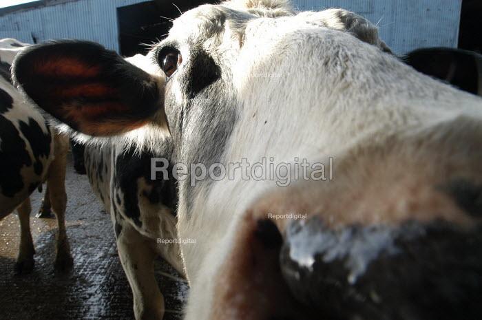 Defra organic farming scheme. A rented dairy farm in gloucestershire. Cows. - Paul Box - 2004-07-02