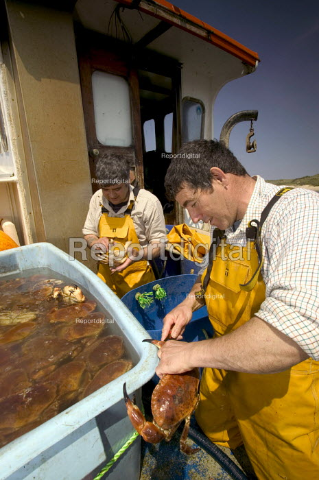 Local fishermen cut the tendons on spider crabs destined for Spain. Padstow. - Paul Box - 2004-08-02