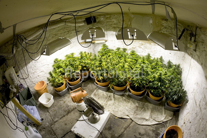 Cannabis plants growing in a basement in Bristol. - Paul Box - 2006-04-01