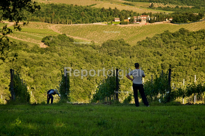 Farmworkers weeding a vineyard in the Chianti winemaking region of Tuscany, Italy. - Philip Wolmuth - 2010-06-03