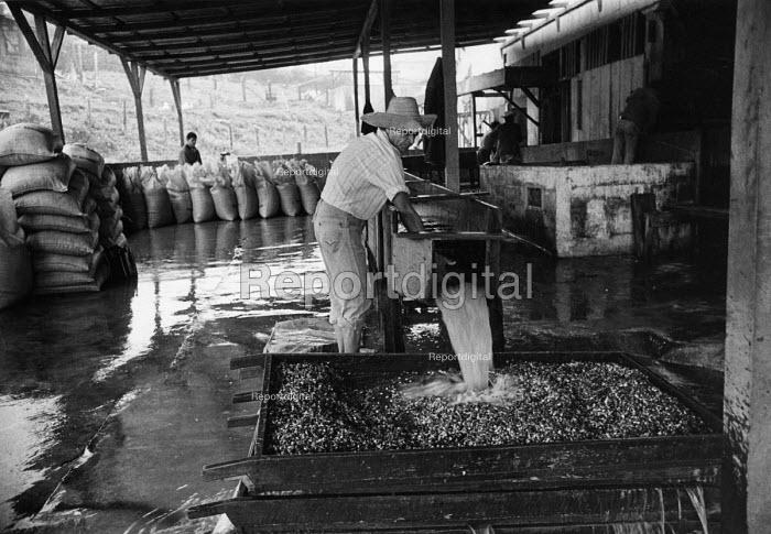 Coffee production, Santa Maria de Wasaka, Nicaragua, 1984 - Pietro Gigli - 1984-02-29