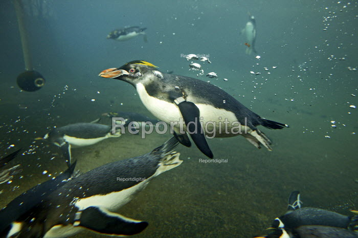 Penguins swimming - Roy Peters - 2004-11-26