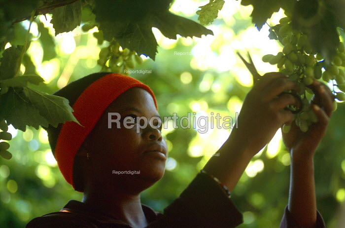 Farm workers picking grapes on a traditionally white owned farm which is entering into a joint ownership partnership with the black workers. South Africa 2003 - Howard Davies - 2003-05-03