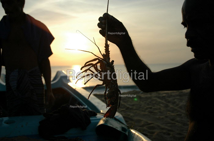 Fishermen on Navaladi beach collect lobsters which they caught during the night before. Batticaloa, Sri Lanka 2005 - Howard Davies - 2005-03-05