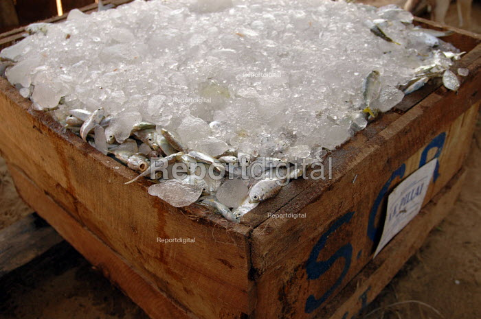 Freshly caught fish ice packed ready for transporting to Colombo. Batticaloa district, Sri Lanka 2005 - Howard Davies - 2005-03-05