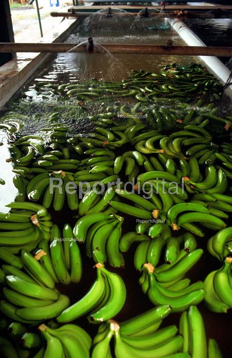 Bananas being washed before being exported at banana plantation, Blue Mountains, Jamaica 1998 - Howard Davies - 1998-08-03