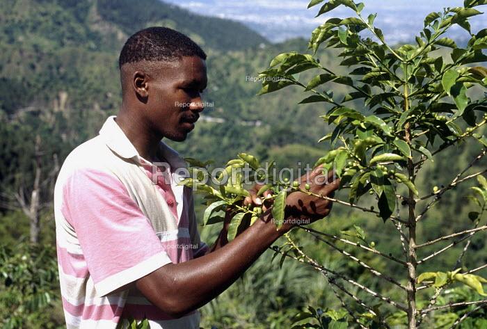 Coffee farmer checking coffee beans growing on bush, Blue Mountains, Jamaica 1997 - Howard Davies - 1997-08-03