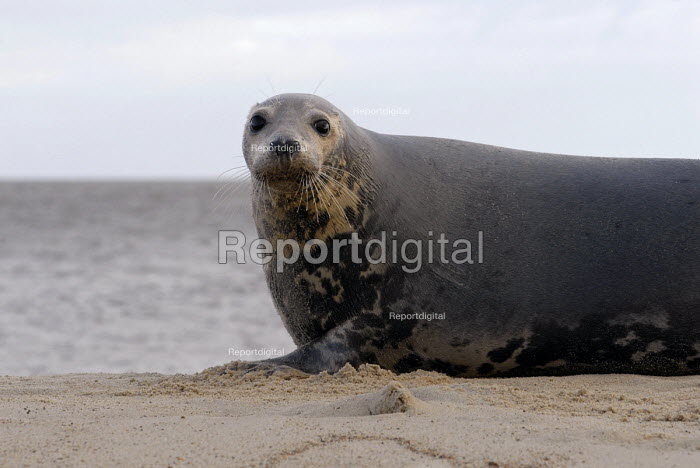 A grey seal at the beach, Norfolk, East Anglia - Timm Sonnenschein - 2006-12-06