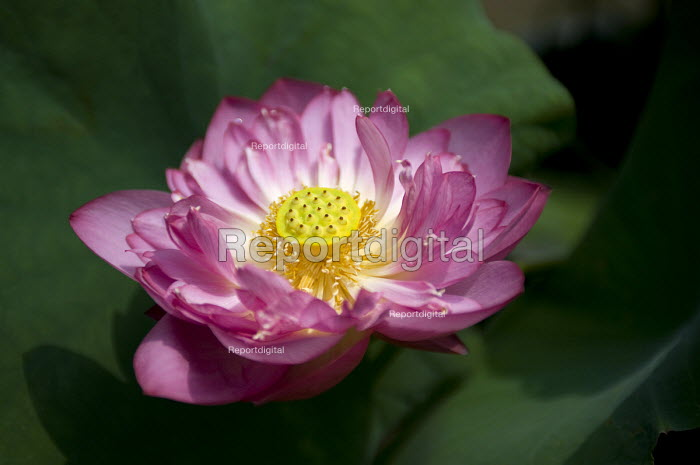 A pink lotus blossom, Nelumbo nucifera or Bean of India, China - Timm Sonnenschein - 2011-08-08
