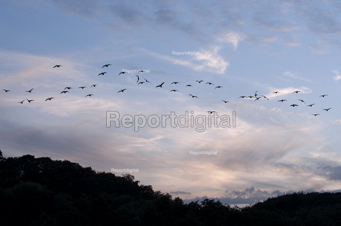 A wild geese flying after sunset, lake Baldeney, Essen, Germany. - Timm Sonnenschein - 2012-08-16