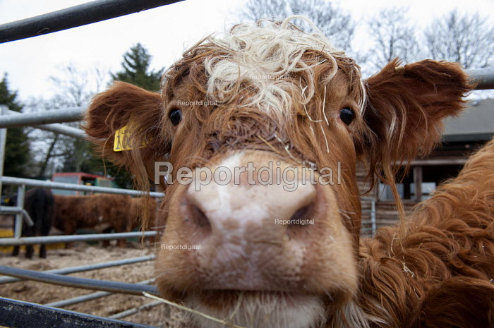 Highland cattle, Animal farm, Graves Park, Sheffield. - Timm Sonnenschein - 2013-03-16