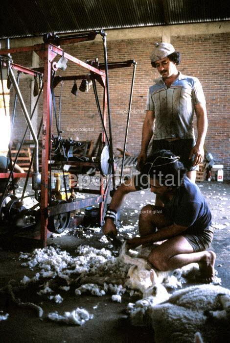 Sheep Shearers at work on an Estancia in Uruguay. - Paul Mattsson - 1986-12-26
