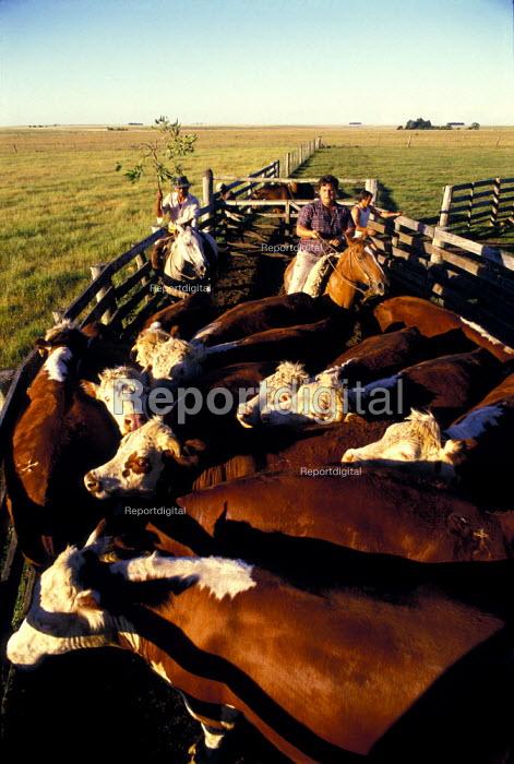 Gauchos Round up Cattle into a Pen on an Estancia in Uruguay. - Paul Mattsson - 1986-12-26
