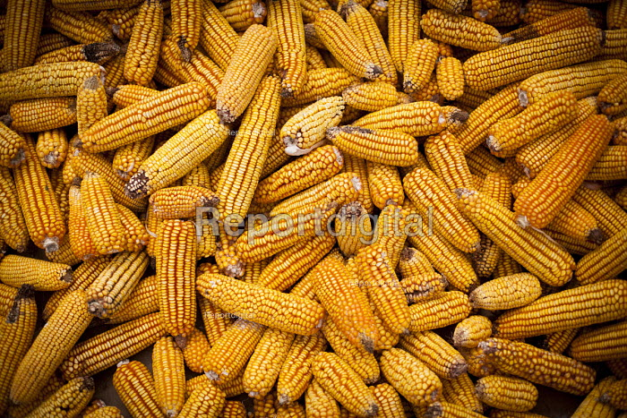Corn on the cob drying out, for sale in the local market, Dali, Yunnan Province, China. - Connor Matheson - 2015-09-18