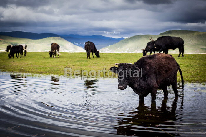 Cattle fording water to get back to their farm, Shangri-La, Yunnan Province, China. - Connor Matheson - 2015-09-24