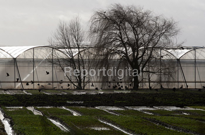 Crows and horticultural greenhouses, Warwicksire - John Harris - 2013-04-29