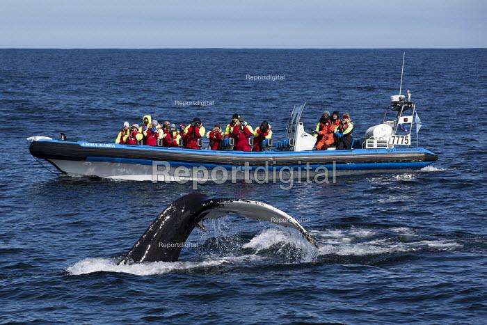 Humpback whale watching with North Sailing, Skjalfandi bay, Iceland Sea, Husavik, North Iceland. RIB Amma Kibba - Jess Hurd - 2016-05-08