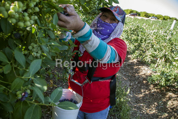 Wearing a UFW t-shirt. California USA Farmworkers picking blueberries, Klein Management Company. Workers are indigenous Mixtec and Zapotec migrants from Oaxaca, Mexico - David Bacon - 2016-05-21