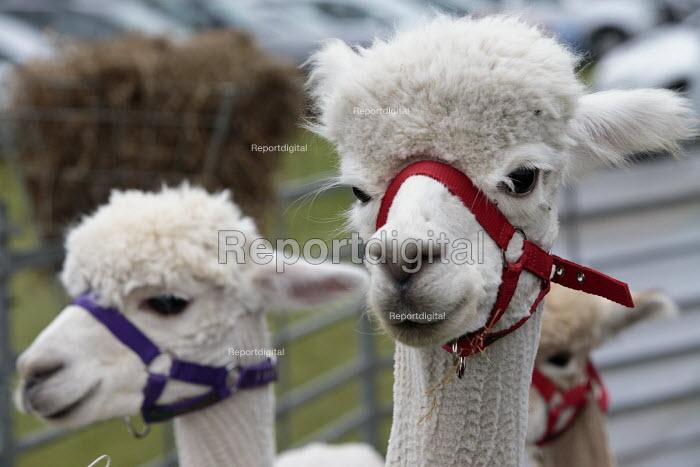 llamas, Silcester Village Fete, Berkshire - John Harris - 2016-06-18