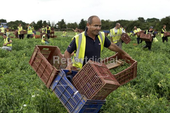 Romanian and Bulgarian migrant workers harvesting broad beans, Warwickshire - John Harris - 2016-06-23