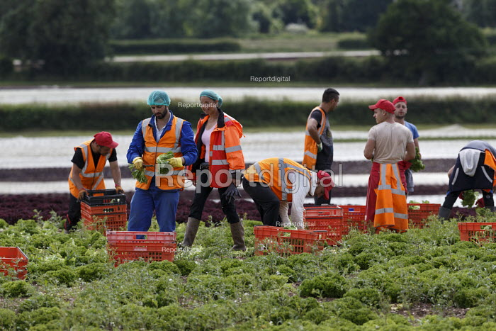 Migrant workers picking lettuce, Warwickshire - John Harris - 2016-07-05