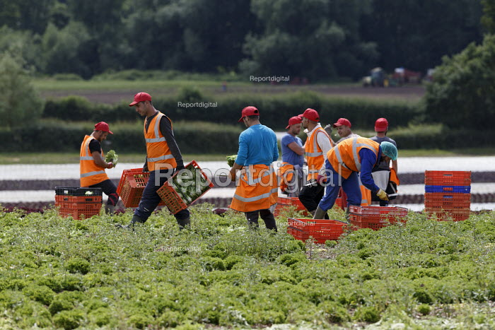 Migrant workers picking lettuce, Warwickshire - John Harris - 2016-07-05