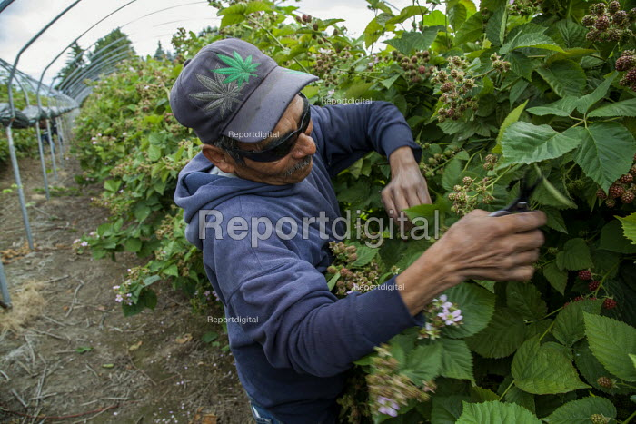 Burlington, Washington, A worker prunes blackberry vines to allow more light to get to the fruit, and to allow pickers to move down the rows more easily, Sakuma Brothers Farms - David Bacon - 2016-07-10