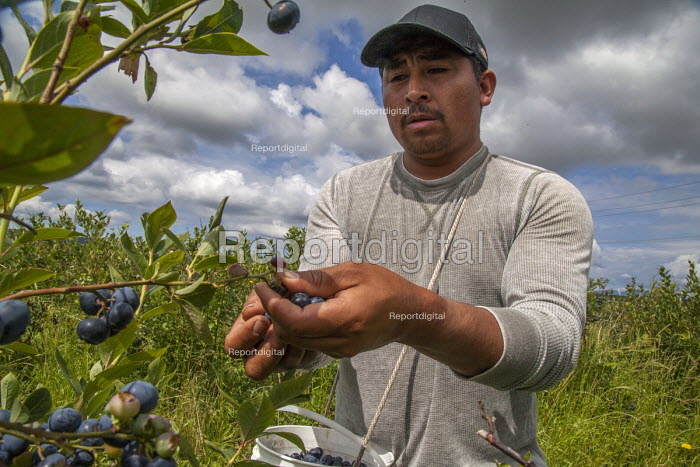 Burlington, Washington, worker picking blueberries on Sunday - David Bacon - 2016-07-10