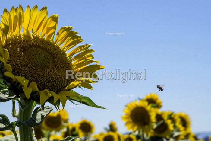 Woodland, California, Bees pollinating sunflowers in a field, Central Valley - David Bacon - 2016-07-03