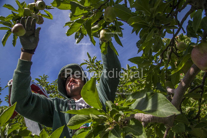 Wapato, Washington, Workers thining fruit on red delicious apple trees so the remaining apples will grow to a large size - David Bacon - 2016-07-08