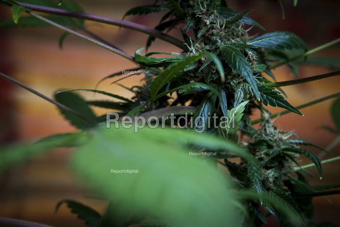 Cannabis users harvesting a crop of home grown Cannabis plants in their home. The plants were grown for personal use. Yorkshire - Connor Matheson - 2016-08-01