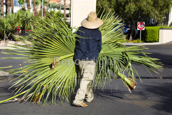 Las Vegas, Nevada, worker removing palm fronds pruned from palm trees - Jim West - 2016-06-30