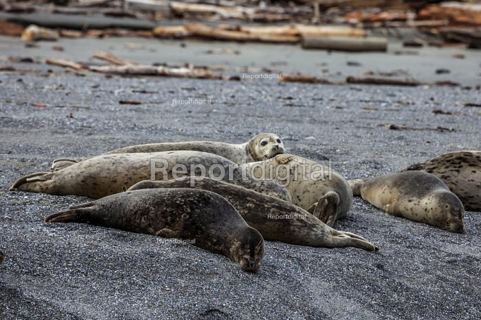 California, USA. Harbor seals lying on Navarro Beach, Navarro River estuary, Navarro River Redwoods State Park - David Bacon - 2017-03-07