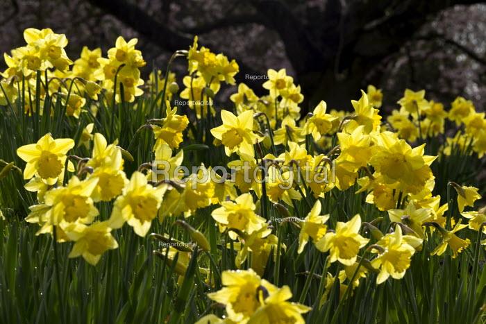 Daffodils on a village green, Loxely, Warwickshire - John Harris - 2017-03-20