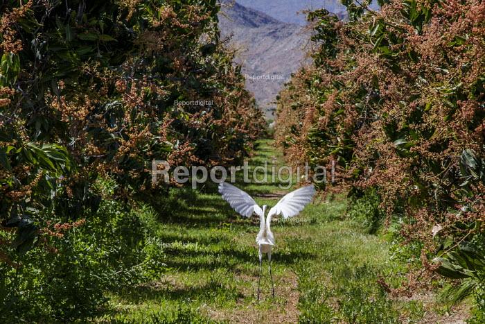 Coachella Valley, California, USA. Snowy Egret taking off from grove of mango trees - David Bacon - 2017-04-04