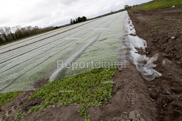 Plastic mulch over crops, Shropshire - John Harris - 2017-04-16