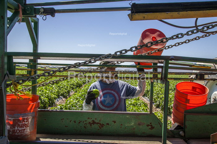 Coachella Valley, California, Farm workers picking bell peppers for Belk Farms. Workers cutting the peppers from the plants into orange buckets which they put on a conveyor belt to be loaded into bins on a machine pulled behind a tractor - David Bacon - 2017-04-03