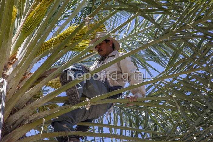 Coachella Valley, California, a palmero working in a grove of date palms. Climbing up a ladder he pollinates the buds that will become the dates, and ties the bunch together with string. Once up in the tree he moves around on the fronds themselves - David Bacon - 2017-04-03