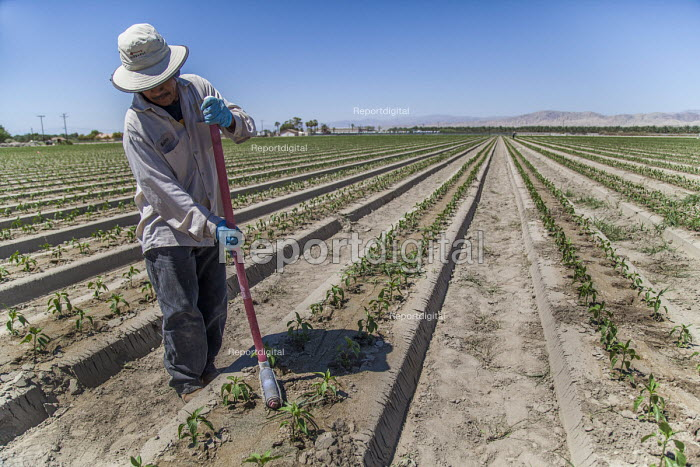 Coachella Valley, California, USA Worker applying a herbicide to weeds in a field of bell peppers on the edge of the Salton Sea. This method of applying the herbicide avoids using a spray that can damage the pepper plants and cause health problems for the workers. The herbicide will eventually be washed into runoff water and into the sea - David Bacon - 2017-08-16