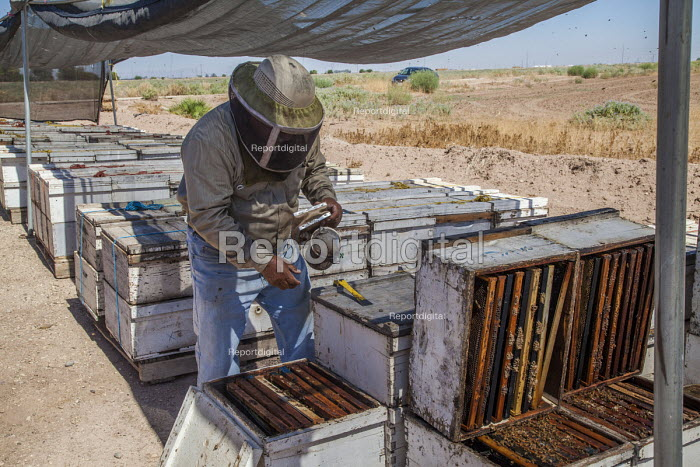 Imperial Valley, California, USA A beekeeper, working with... - David Bacon, DNB1708179.jpg