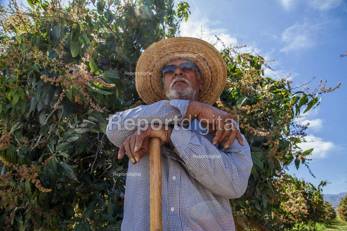 Coachella Valley, California, USA. Elderly farm worker working in a grove of organic Keitt mango trees, digging out moles. Avas Mangos, the largest organic mango grower in California - David Bacon - 2017-04-04